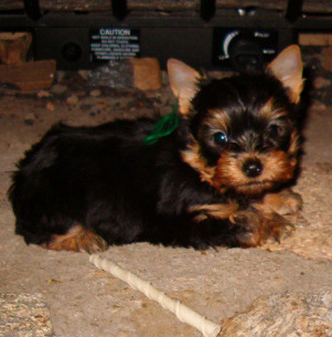 Yorkshire Terrier Puppies AKC Registered Yorkie Puppies