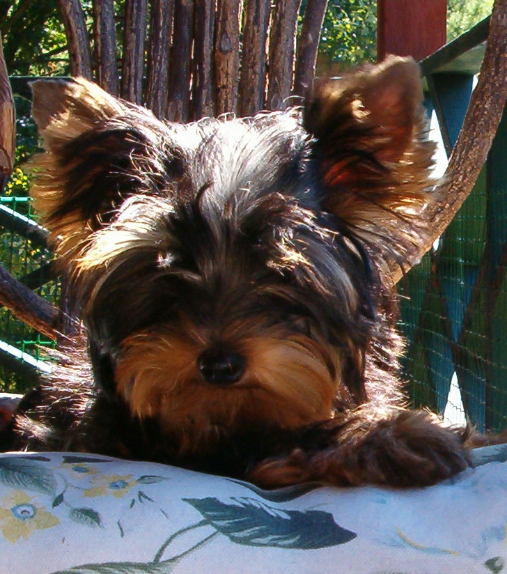 Yorkshire Terrier Puppies are