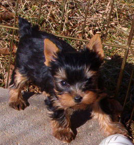 Yorkshire Terrier Puppies Akc Registered Yorkie Puppies Available