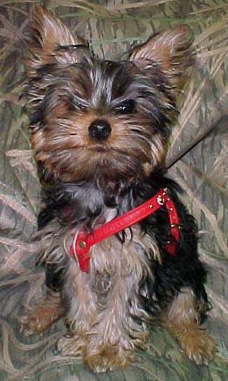 Yorkie Puppy Clothes Collars Harnesses Bandanas Yorkie ...