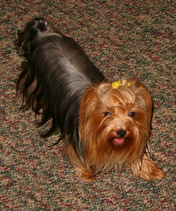 Yorkie Girl Oh So Pretty